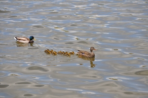 Daddy and Momma Mallard with 10 new ducklings