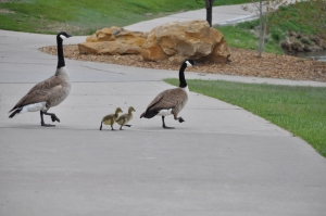 Daddy and Momma Canadian Geese with 2 new goslings